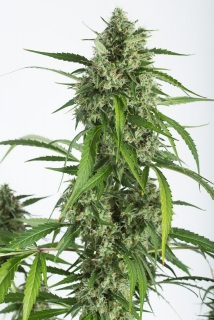 White Whidow XXL Auto
